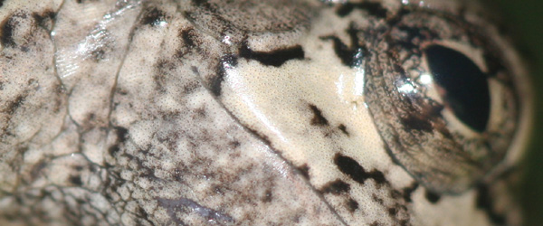 close up of a Gray Tree Frog