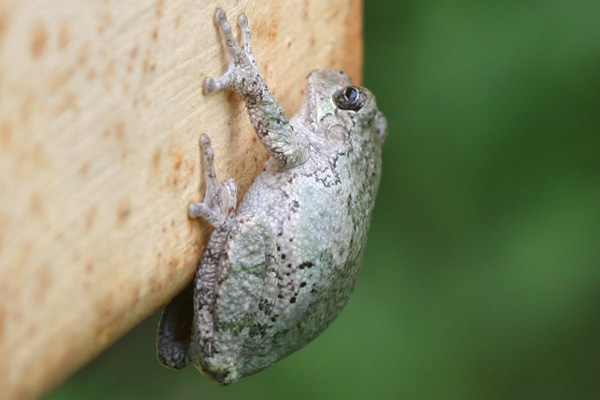 Gray Tree Frog on a gate at Jamaica Bay