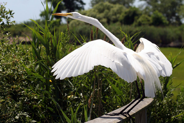 Great Egret landing on railing