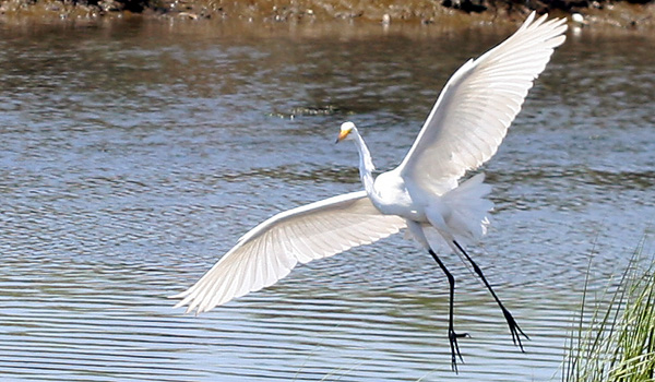 Great Egret wingspan