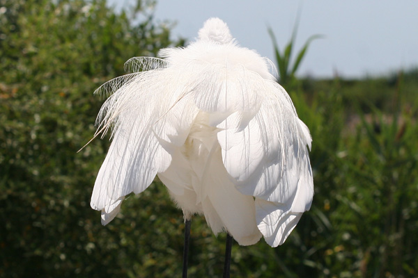 Great Egret rear view