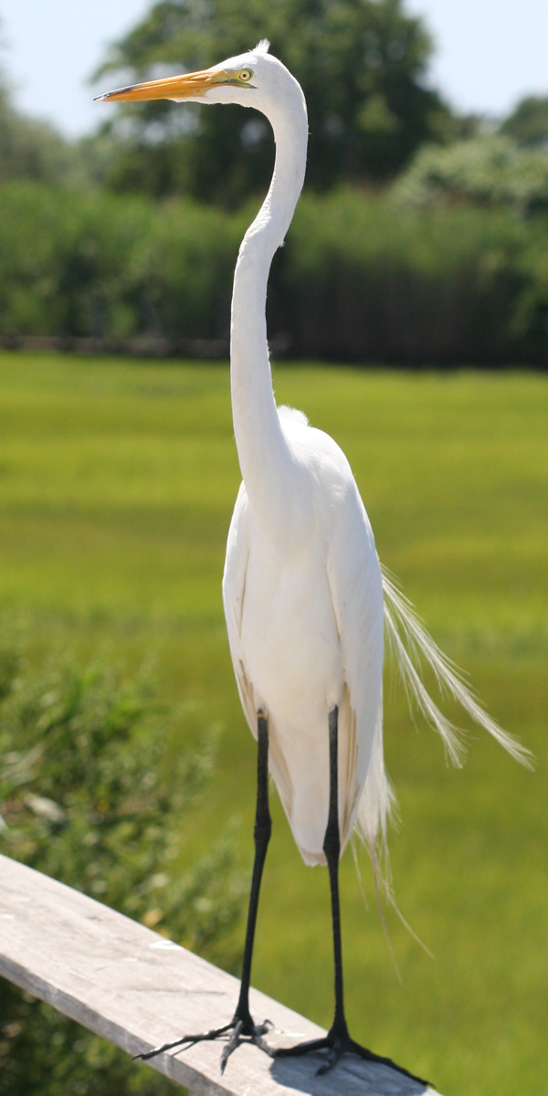 Great Egrets are tall!