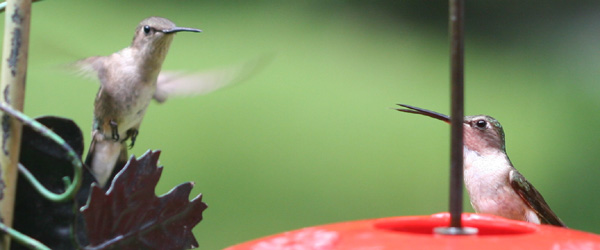 female Ruby-throated Hummingbirds