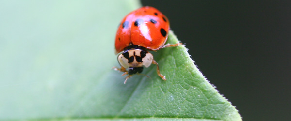 Asian Multicolored Lady Beetle (Harmonia axyridis)