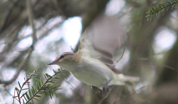 Red-eyed Vireo taking off
