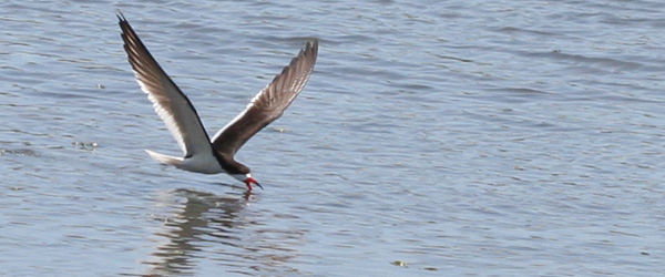 Black Skimmer skimming (again)