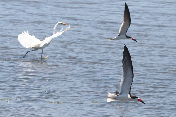 Black Skimmers and Great Egret