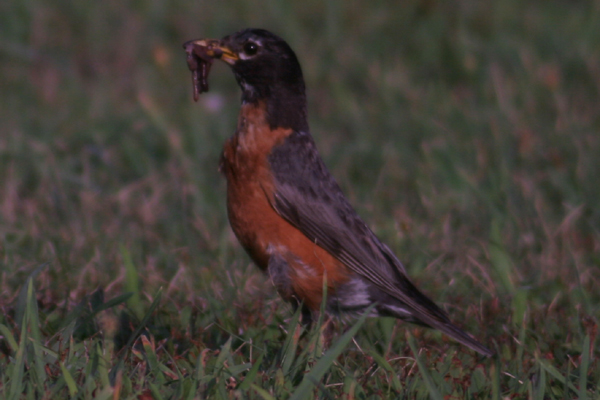 digiscoped American Robin