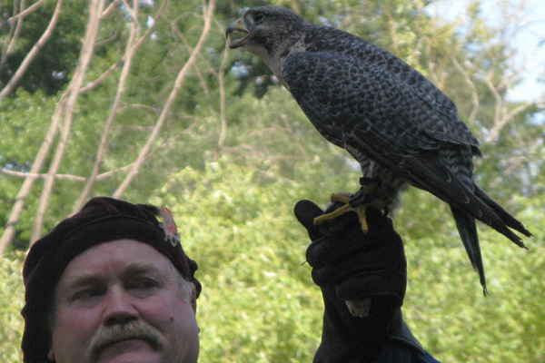 hybrid Gyrfalcon X Peregrine Falcon (with Steve Hoddy)