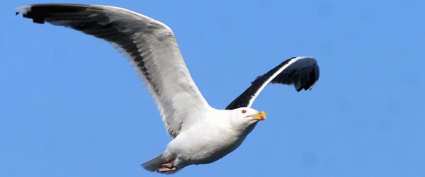 Great Black-backed Gull in flight