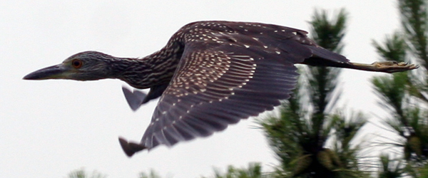 juvenile Yellow-crowned NIght-Heron in flight