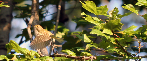 juvenile White-eyed Vireo taking off