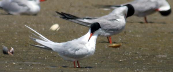 preening Roseate Tern