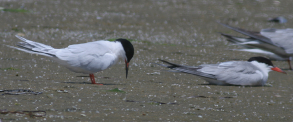 Roseate Tern with Common Tern