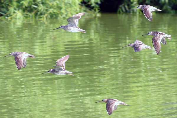 Short-billed Dowitchers in flight