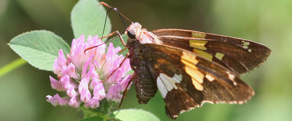 Silver-spotted Skipper on clover