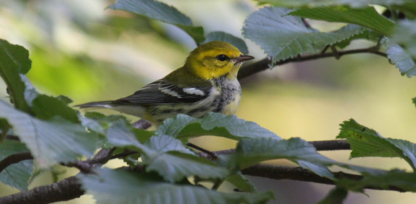 Black-throated Green Warbler by Charlie
