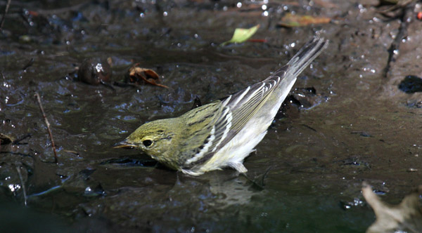 fall Blackpoll Warbler by Charlie
