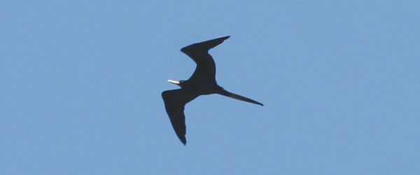 Magnificent Frigatebird by Corey