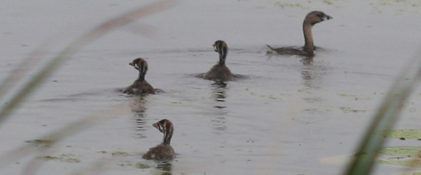 adult and juvenile Pied-billed Grebes