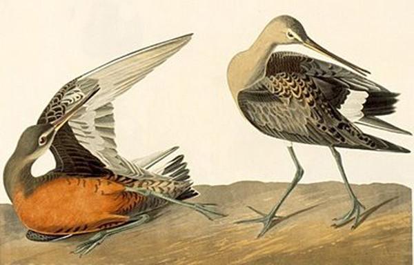 Audubon's Hudsonian Godwit