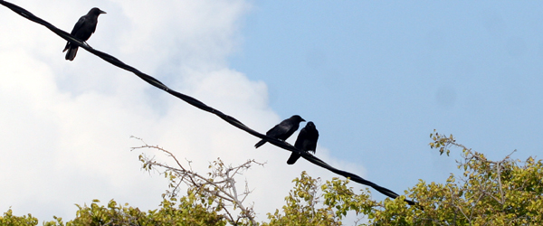 American Crows on a wire