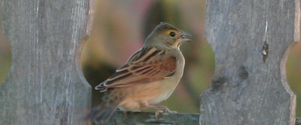 Dickcissel on a fence at Fort Tilden