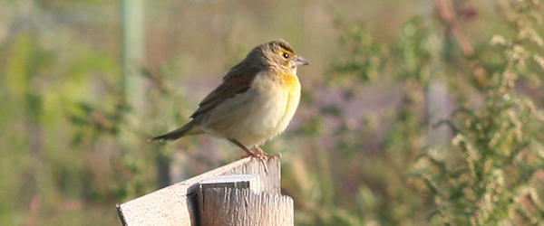 Dickcissel on a fence post