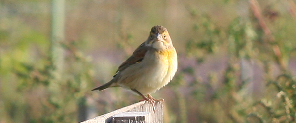 Dickcissel at Fot Tilden