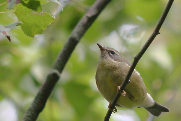 female Black-throated Blue Warbler pre-lunge