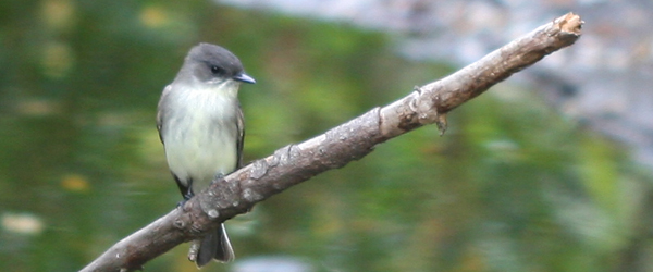 Eastern Phoebe at Jamaica Bay