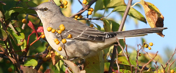 mockingbird at Jamaica Bay