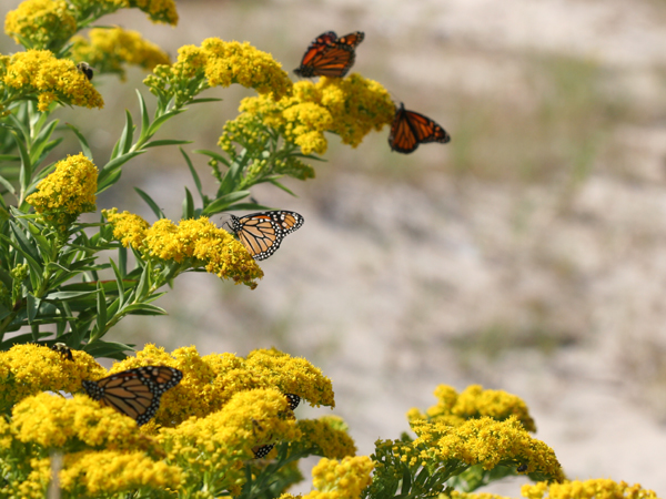 Monarch Butterflies feeding on goldenrod