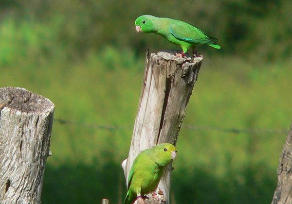 parrotlets speaking mp3