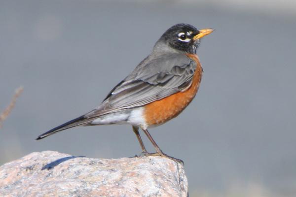 10 000 birds first robin of spring 10 000 birds