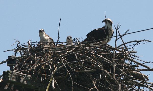 ospreys, Montezuma