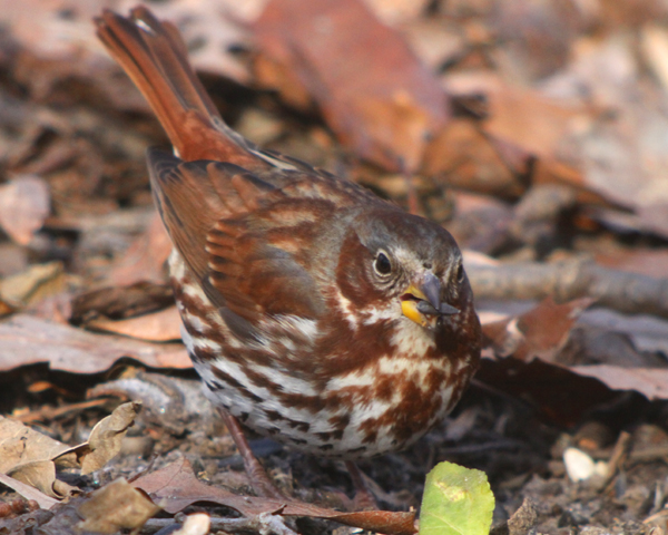 Fox Sparrow in Forest Park