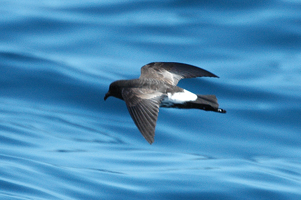 The mysterious New Zealand Storm-petrel Oceanites maorianus
