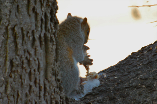 Grey Squirrel Eating Chicken