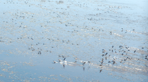 Canada Geese on the Upper Mississippi counted this week.