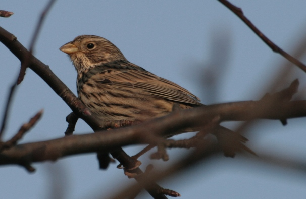This <strong>Corn Bunting </strong>belongs to a very small group of birds where the onomatopoeic concept would be compromised. No one wants to put down in writing the sound of jangling keys.