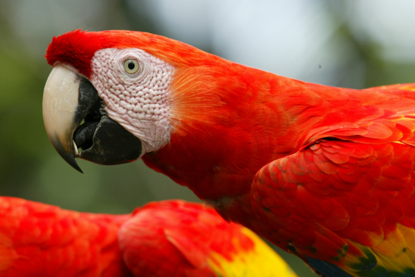 A male-male pair of Scarlet Macaws feeding together. Photo by (c) Frank Dziubak
