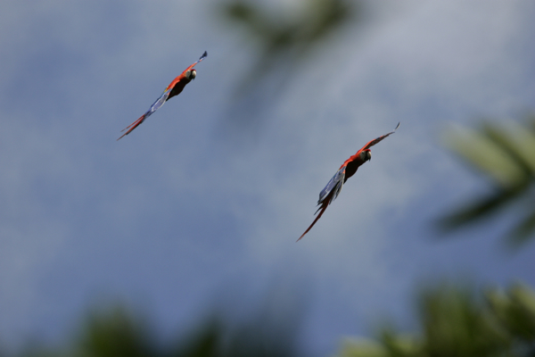 A male-male pair of Scarlet Macaws coming in to land. Photo by (c) Frank Dziubak.