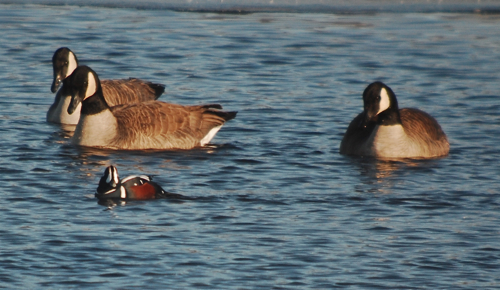 Harlequin Duck & Canada Geese