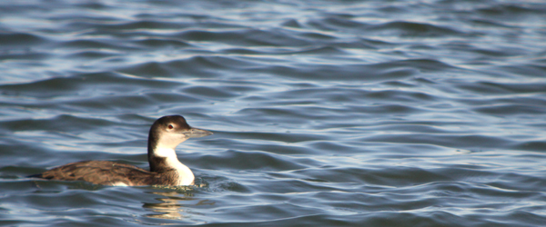 common loon winter. Common Loon Gavia immer above
