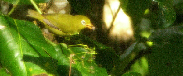 Louisiade White-eye (Zosterops griseotinctus) by David J. Ringer