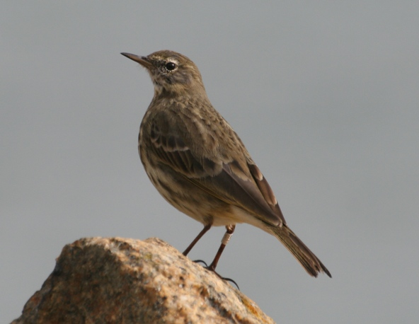 "<strong>Rock Pipits </strong>share their winter habitat with the Purple Sandpiper, but clearly got the worse end of the names deal. Purple Pipit would have been so much more inspired. It's potential onomatopoeic name? Oh, never mind, think ""Purple Pipit""!"