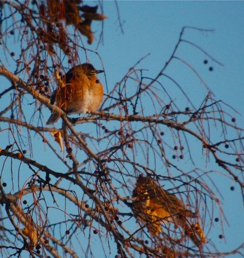 ROBIN AMERICANO | El Atlas de aves reproductoras de Texas