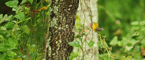 Prothonotary Warbler by David J. Ringer