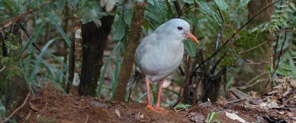 Kagu by David J. Ringer
